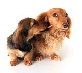 Dachshund puppies — Stock Photo
