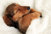 Slapen teckel puppy — Stockfoto