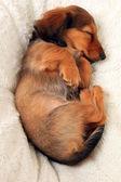 Sleeping dachshund puppy — Stock fotografie