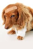 Sick puppy dog — Stock Photo