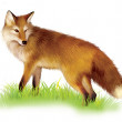 Red Fox standing in the grass — Stock Photo #22137337