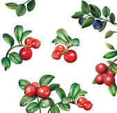 Berries: bilberries blueberries cranberries with leaves — Stock Photo
