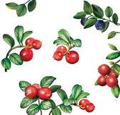 Berries: bilberries blueberries cranberries with leaves — Stock Photo