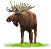 Moose on a grass — 图库照片