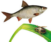 Minnow fish and water bug on water grass — Stock Photo