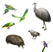 Ostrich Emu, budgies,Grey Parrot, green Parrot, echidna. Australian birds and animal. — Stock Photo