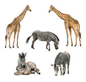 Giraffe and zebra — Stock Photo