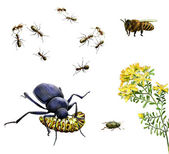 Insects: bee, ants, ground beetle eating caterpillar, bug and yellow meadow flowers — Stock Photo