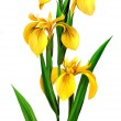 Yellow Iris - Stock Photo