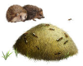 Anthill with ants. Two hedgehogs — Stock Photo