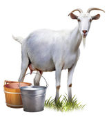 White goat with buckets full of milk. — Stock Photo
