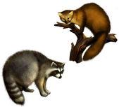 Marten and Raccoon — Stock Photo