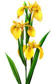 желтый ирис — Стоковое фото