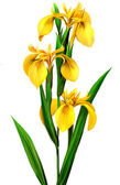 Yellow Iris — Foto de Stock