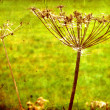 Foto Stock: Dry Fennel flower in grunge and retro style. Summer field.