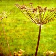 Photo: Dry Fennel flower in grunge and retro style. Summer field.