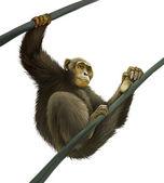 Chimpanzee climbing on liana — Stock Photo