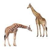 Two giraffes. Portrait of a giraffe isolated on white background — Stok fotoğraf