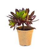 Young Succulent houseplant — Stock Photo