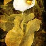 Постер, плакат: Calla flower