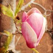 Magnolia flowers — Stock Photo #24447655