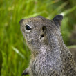 Young gray squirrel — Foto Stock