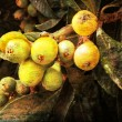 medlar tree — Stock Photo