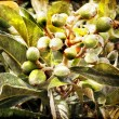 Medlar tree - Stock Photo
