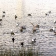 Many ducks, seagulls swim on the water. Feeding time - Stock Photo
