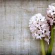 Stock Photo: Hyacinth flowers on linen background.