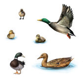 Water birds, Flying duck, duck in the water, standing male duck, ducklings in the water, Isolated on white background. — Stock Photo