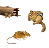 Rodents: chipmunk eating a nut, yellow brown mouse, two chipmunks in a fallen log, Isolated on white background. — Photo