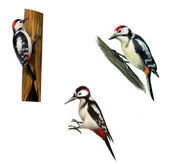 Great Spotted Woodpecker on a tree. Middle Spotted Woodpecker. Isolated on white background. — Stock Photo