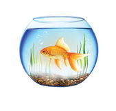 Gold fish in a Round aquarium, fish bowl — Stock Photo