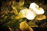 калла цветок — Стоковое фото
