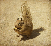 Young gray squirrel eating a nut — Stock Photo