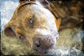 Portrait of Puppy mastiff. A friendly looking Pit Bull dog — Stock Photo