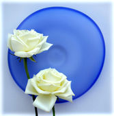 Two white roses on blue glass plate — Stock Photo