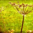 Dry Fennel flower in grunge and retro style. Summer field. — Stock Photo