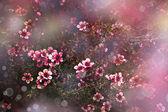 Japanese cherry - Sakura. Tree bloom — Stock Photo