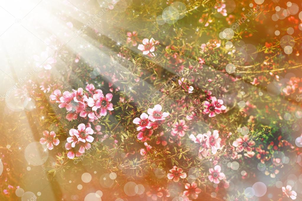 Ciliegio giapponese sakura albero fiore foto stock for Sakura albero