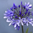 African lily ,Agapanthus africanus — Stock Photo #24499777