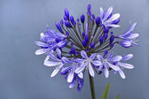 African lily ,Agapanthus africanus — Stock Photo