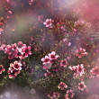 Japanese cherry - Sakura. Tree bloom — Stock Photo
