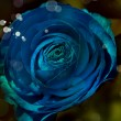 Beautiful blue rose — Stock Photo #24504733