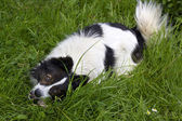 White and black dog eating a bone on grass — Foto de Stock