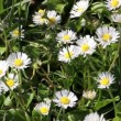 Daisy flowers on wind. Sunshine. Spring background — Stock Video