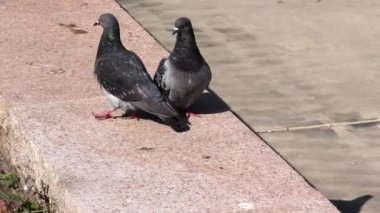 Gray pigeons Kissing. Portrait of a Rock Dove cleaning eachother, Two gray dove's love, sunshine — Stock Video