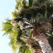 Stock Video: Palm tree in the wind