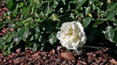 Bush of white roses mooving on a wind, White rose petals slipping away